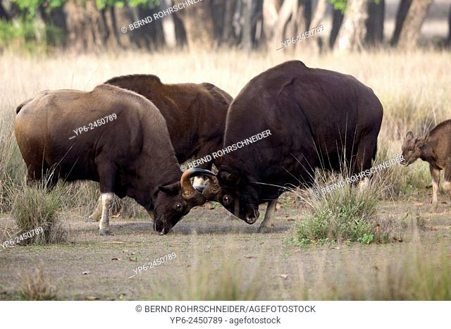 Gaur (Bos gaurus), two bulls fighting, Kanha National Park, Madhya Pradesh, India