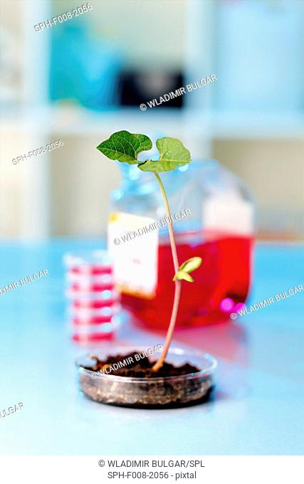 Genetically modified plant, conceptual image