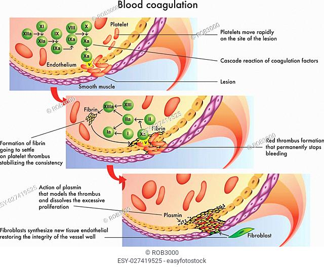 medical illustration of the process of blood coagulation