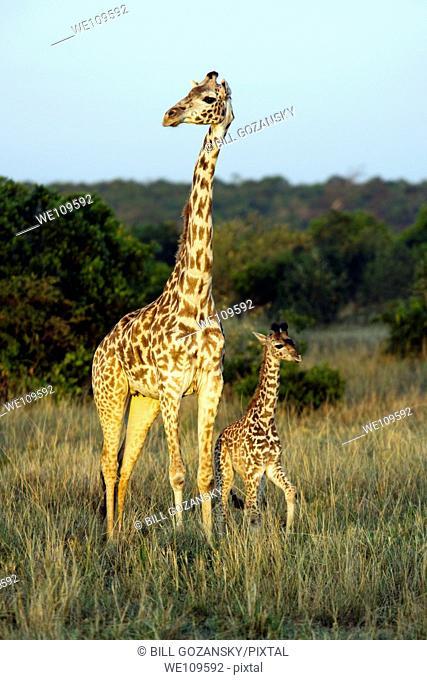 Masai Giraffe with young - Masai Mara National Reserve, Kenya