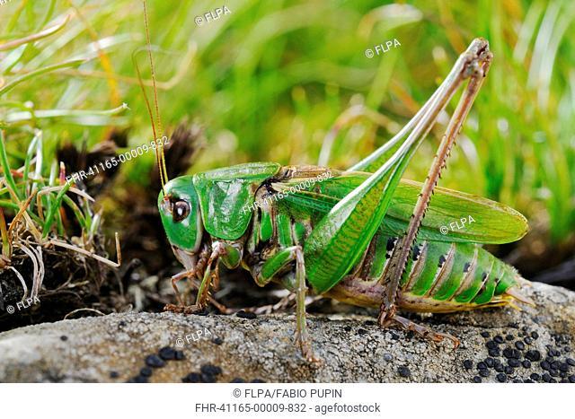 Wart-biter Cricket Decticus verrucivorus adult male, resting on rock, Italy, august