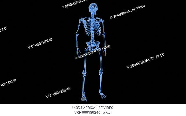 Animation depicting a full rotation of the skeletal system in X-ray style