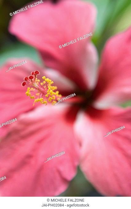 Hibiscus Flower, Bohol Island, The Philippines