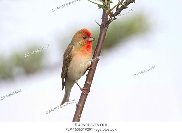 Common rosefinch / scarlet rosefinch (Carpodacus erythrinus) male perched in tree