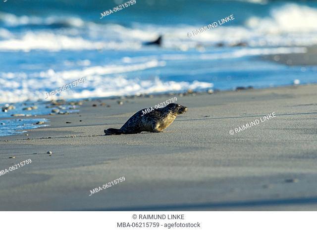 Grey Seal, Halichoerus grypus, Pup, Europe
