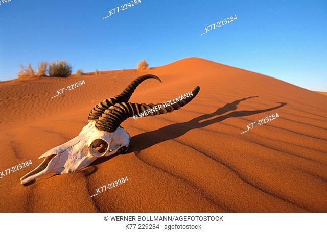 Skull of springbok. Namib-Naukluft. Namibia