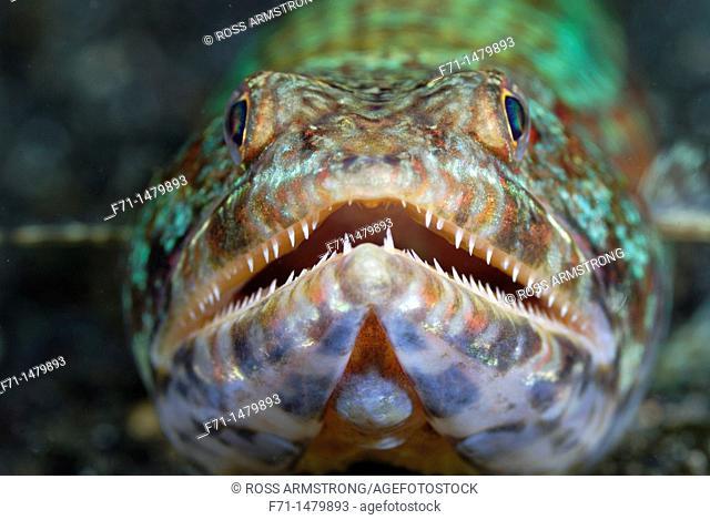 Reef lizardfish Synodus variegatus  Lembeh Strait, Celebes Sea, North Sulawesi, Indonesia