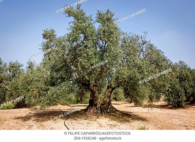 Olive tree from the picual variety near Jaen, Spain