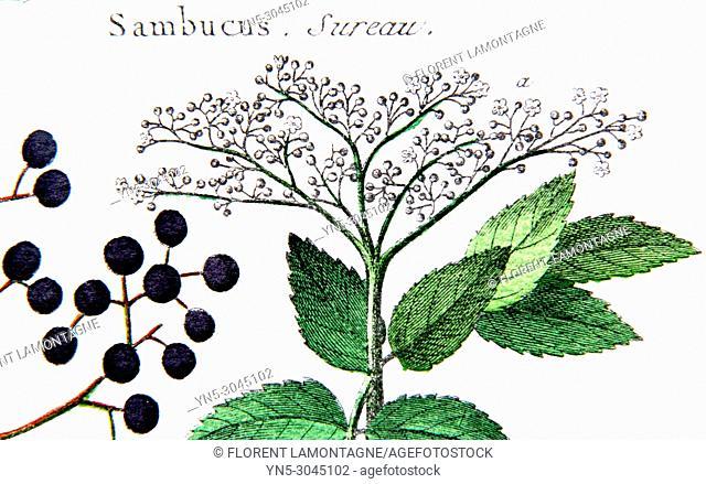 Old botanical board of sambucus plant