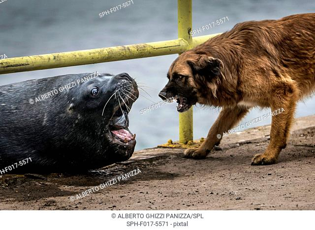 Sea lion and domestic dog fighting for a piece of fish. Coast of Chile