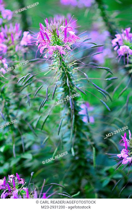 A closeup of a cleome flower in soft focus, Pennsylvania, USA