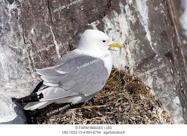 Kittiwake (Rissa tridactyla) adult, at nest on cliff ledge, Farne Islands, Northumberland, England, june. (Photo by: Wayne Hutchinson/Farm Images/UIG)