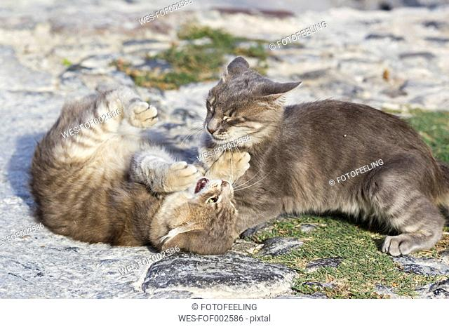 Europe, Greece, Cyclades, Santorini, Two cats playing on the street