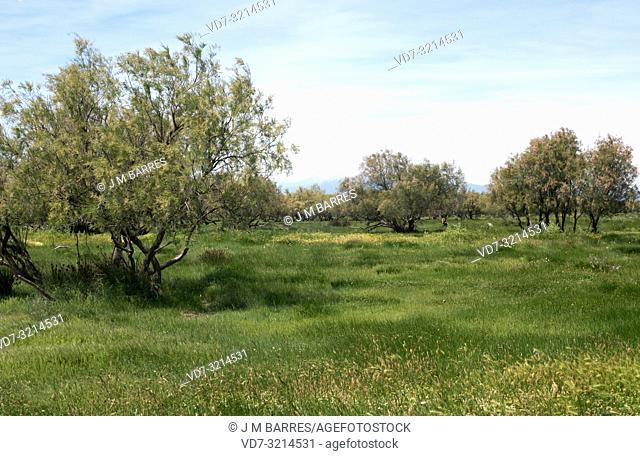 Taray or taraje (Tamarix africana) is a deciduous small tree native to western Mediterranean coasts. This photo was taken in Vilaut, Girona province, Catalonia