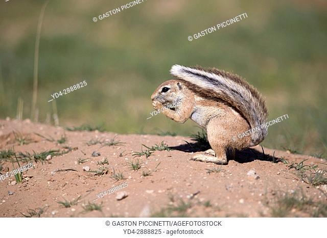 African Ground squirrel (Xenus inauris), Kgalagadi Transfrontier Park, Kalahari desert, South Africa/Botswana