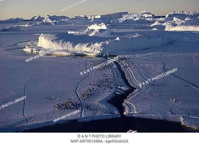 ADELIE PENGUIN group on ice Pygoscelis adeliae aerial view Antarctica