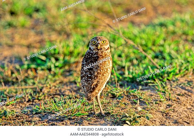 Burrowing Owl (Speotyto Cunicularia) Civetta Delle Tane, Llanos, Venezuela