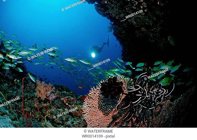 Diver and Bluestripe snapper, Lutjanus kasmira, Indian Ocean, Maldives Island