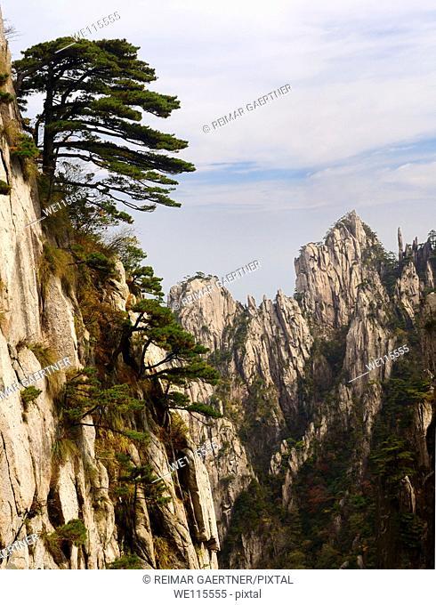 Pine trees on Beginning to Believe Peak with Stalagmite Gang at Yellow Mountain Huangshan China