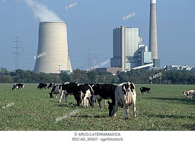 Cattle in front of Coal-fired Power Station Bergkamen North Rhine-Westphalia Germany
