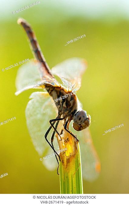 Dragonfly perched on a reed. Sierra de San Pedro Natural Reserve. Alburquerque. Badajoz. Extremadura. Spain