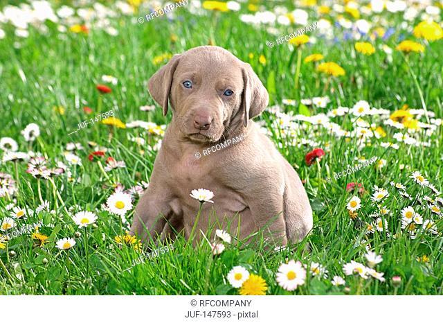 weimaraner puppy - sitting on meadow