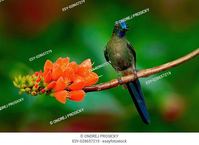 Long-tailed Sylph, Aglaiocercus kingi, rare hummingbird