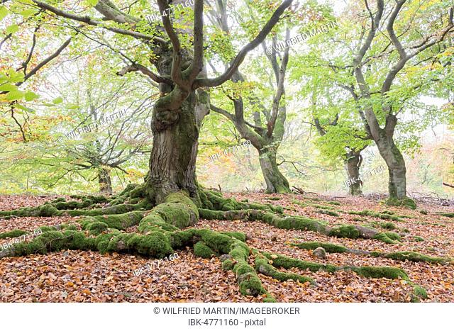 Old beeches (Fagus sylvatica) with mossy roots, Wood pasture beeches, pastoral forest Haloh, Hesse, Germany