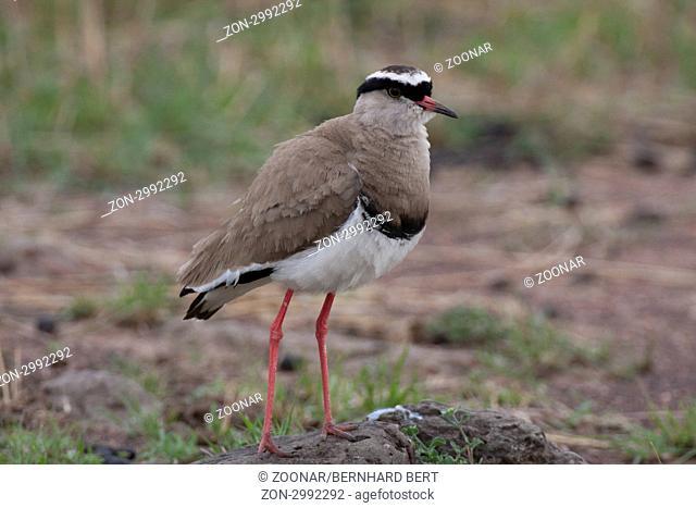 Kronenkiebitz,Vanellus coronatus