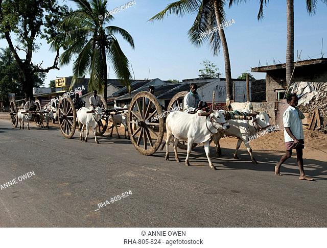 Line of paired white bullocks pulling traditional wooden wheeled bullock carts along the road, Koraput district, Orissa (Odisha), India, Asia