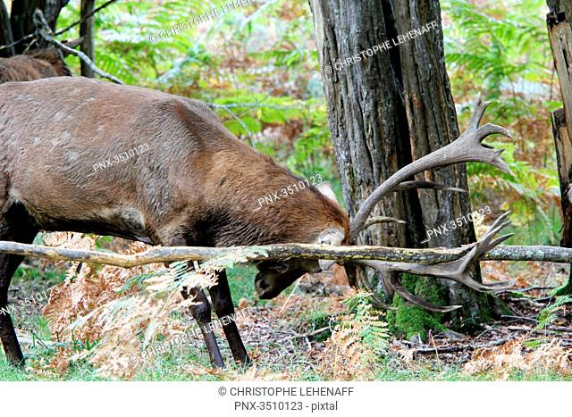 France, Burgundy, Yonne. Area of Saint Fargeau and Boutissaint. Slab season. Stag striking its wood against the trunk of tree