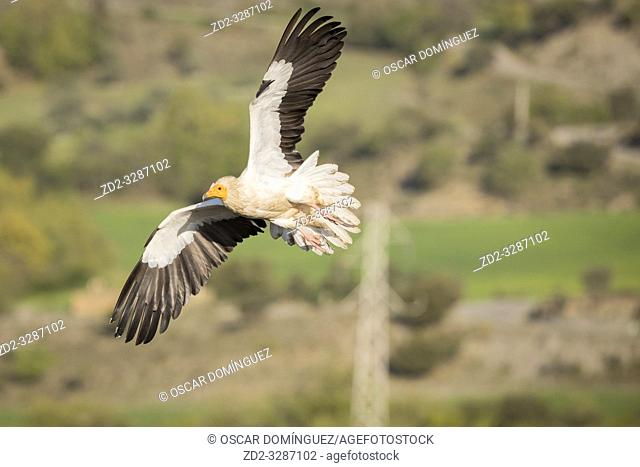 Egyptian vulture (Neophron percnopterus) in flight with a power line in the background. Pre-Pyrenees. Lleida province. Catalonia. Spain