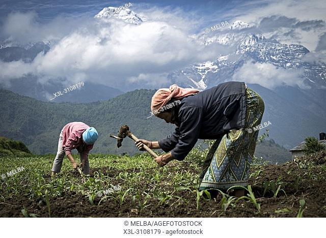 Mother and daughter harvesting in her corn field with Annapurnas range at background. Ghandruk. Annapurna trek. Nepal