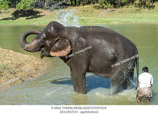 Mahout washing his Indian elephant (Elephas maximus indicus) in the river, Kaziranga National Park, Assam, India