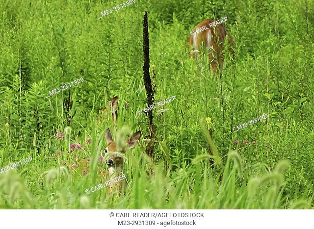 White-tailed deer hide in a field, Pennsylvania, USA