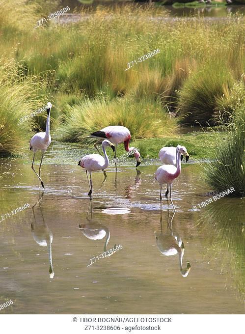 Andean flamingos, phoenicoparrus andinus, Andes, Atacama desert, Chile,