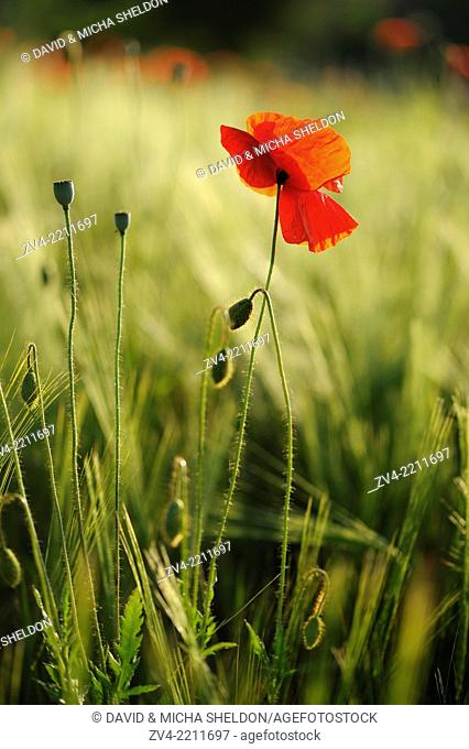Close-up of a Corn poppy (Papaver rhoeas) in a corn field in summer