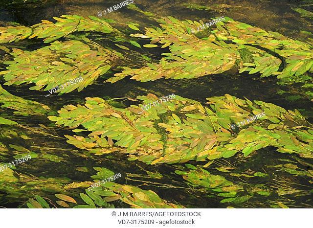 Floating pondweed (Potamogeton natans) is an aquatic perennial herb netive to Circumboreal region. This photo was taken in Rio Duero, Soria province