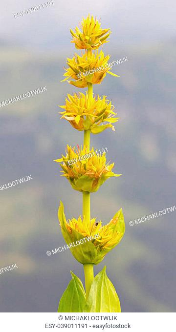 Yellow flower in the Swiss alps, selective focus