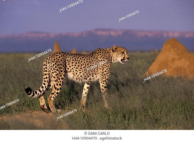 Cheetah, animal, Acinonyx jubatus, Namibia, Africa