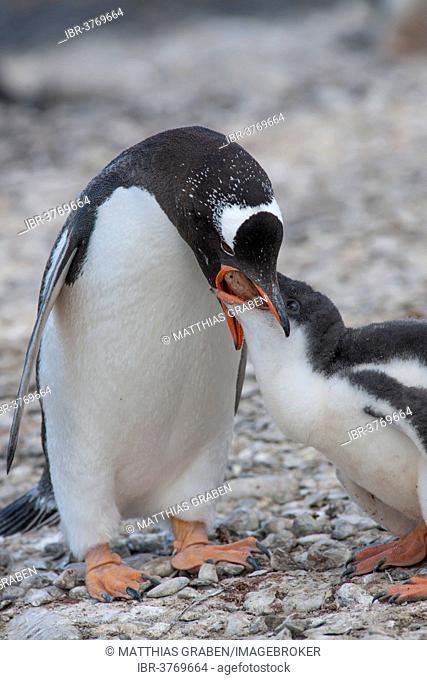 Gentoo Penguin (Pygoscelis papua) feeding young, Brown Bluff, Antarctic Peninsula, Antarctica
