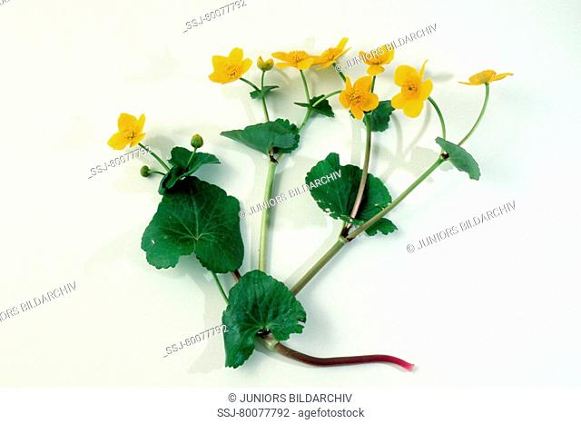 DEU, 2002: Kingcup, Marsh Marigold (Caltha palustris), plant with flowers and roots, studio picture