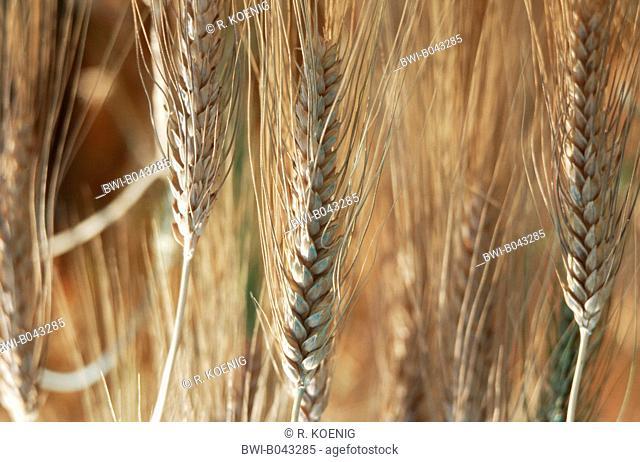 Branched Wheat (Triticum turgidum ssp. turgidum), spikes