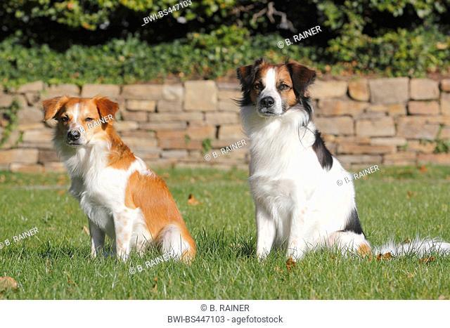 Kromfohrlaender (Canis lupus f. familiaris), two male dogs sitting side by side in a meadow, Germany