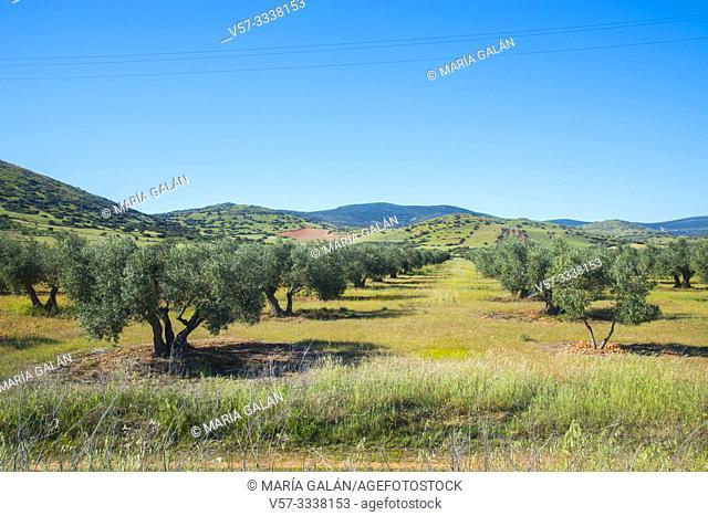 Olive grove. Campo de Calatrava, Ciudad Real province, Castilla La Mancha, Spain