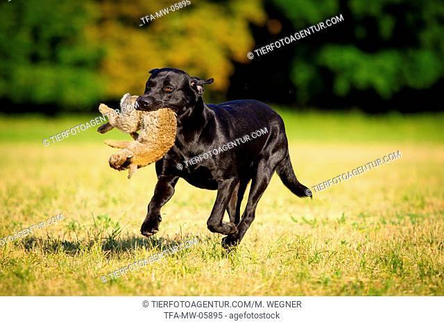 Labrador Retriever at hare hunting