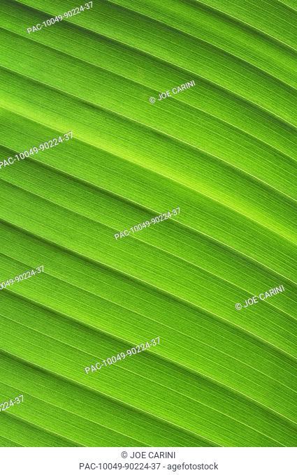 Hawaii, Oahu, Detail of tropical green leaf