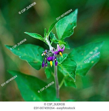 Bittersweet poisonous wild flower