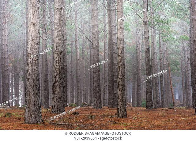 Low mist hangs eerily over a pine forest. Western Cape Province, South Africa