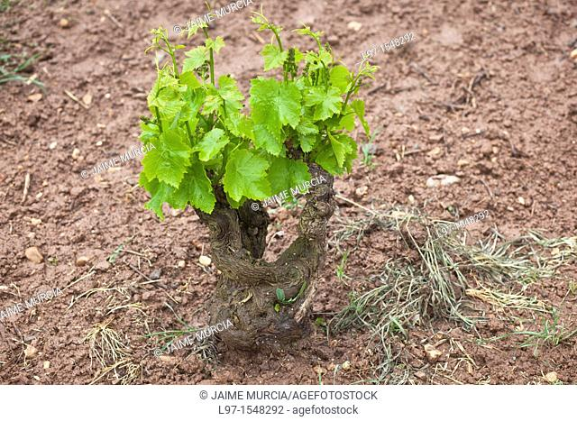 New growth grape vine Rioja region Spain